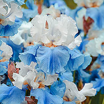 All Blue Bearded Iris Collection