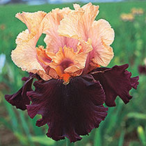 All-Season Bearded Iris Collection