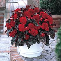 Switzerland Begonia