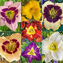 Mountain of Flowers Daylily Collection