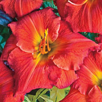 Summertime Sweets Reblooming Daylily Collection