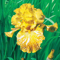 Tiger Honey Bearded Iris