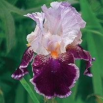 Armageddon Bearded Iris