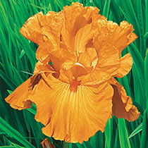 Edgefield Glow Bearded Iris