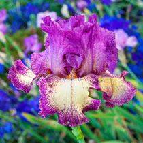 Rock Star Reblooming Bearded Iris