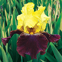 Blatant Reblooming Bearded Iris