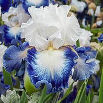 Alsea Falls Bearded Iris