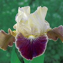 Coconino Dwarf Bearded Iris