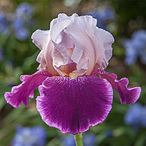 Crimson Snow Bearded Iris