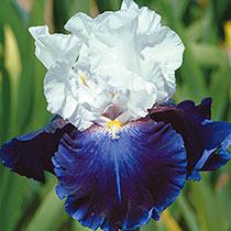 Captain's Choice Reblooming Bearded Iris