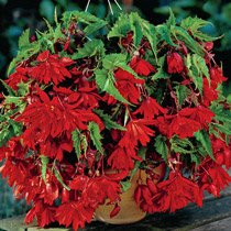 Scarlet Cascade Begonia