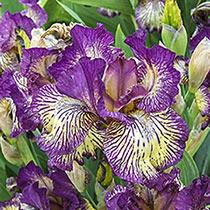 Gnu Rayz  Bearded Iris