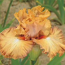 Temple Of Time Bearded Iris