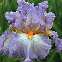 Oui Madame Bearded Iris