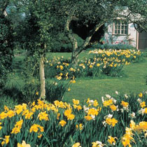Shop 3 Months Of Daffodils At Breck S