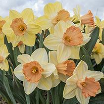 Modulation Daffodil