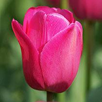 Don Quichotte Tulip Super Sak®