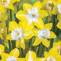 Decades of Daffodils Collection