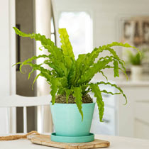 Victoria Bird's Nest Fern