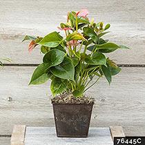 Dutch Pink Anthurium