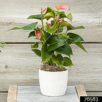 Dutch Pink Anthurium