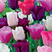 Monet's Garden™ Tulip Mixture