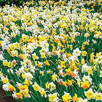 3 Months of Mixed Daffodils