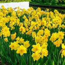 3 Months of Yellow Daffodils