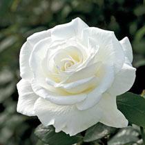 Fragrant Rose Garden Collection - 5 Plants