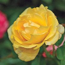 Happy Go Lucky™ Grandiflora Rose