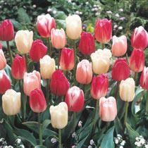 Cherry Blossom Tulip Mixture