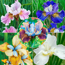 Siberian Iris Collection