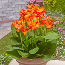 Tropical Dwarf Canna Collection