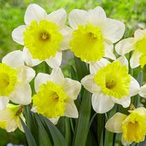 Attraction Daffodil