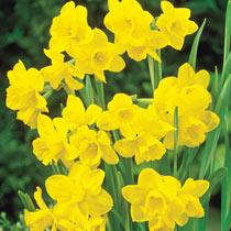 Rosemoor Gold Daffodil
