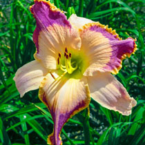 Lotus Position Reblooming Daylily