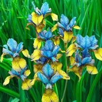 So van Gogh Siberian Iris