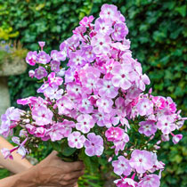 Phlox Tree™ Collection