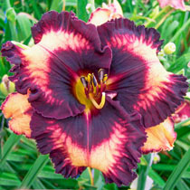 Fugitive Reblooming Daylily