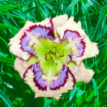 Outer Space Reblooming Daylily