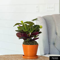 Red Prayer Plant