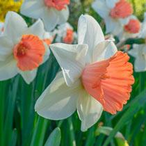 Chromacolor Daffodil