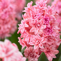 Spring Beauty Double Hyacinth