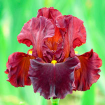 Valentino Bearded Iris