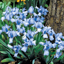 Forever Blue Dwarf Reblooming Bearded Iris
