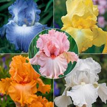 Breck's® Reblooming Iris Collection
