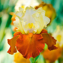 Breck's® Showtime Bearded Iris Collection