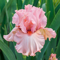 Fire Bride Bearded Iris