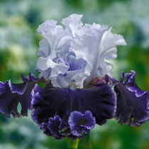 Feel the Thunder Bearded Iris