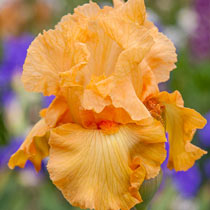 Mango Passion Bearded Iris